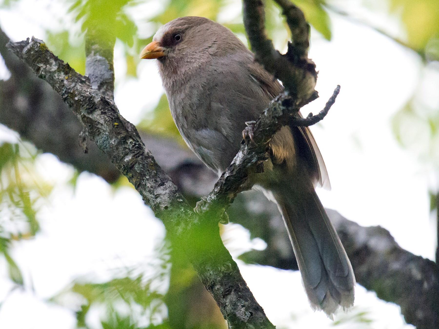 Great Parrotbill - Craig Brelsford