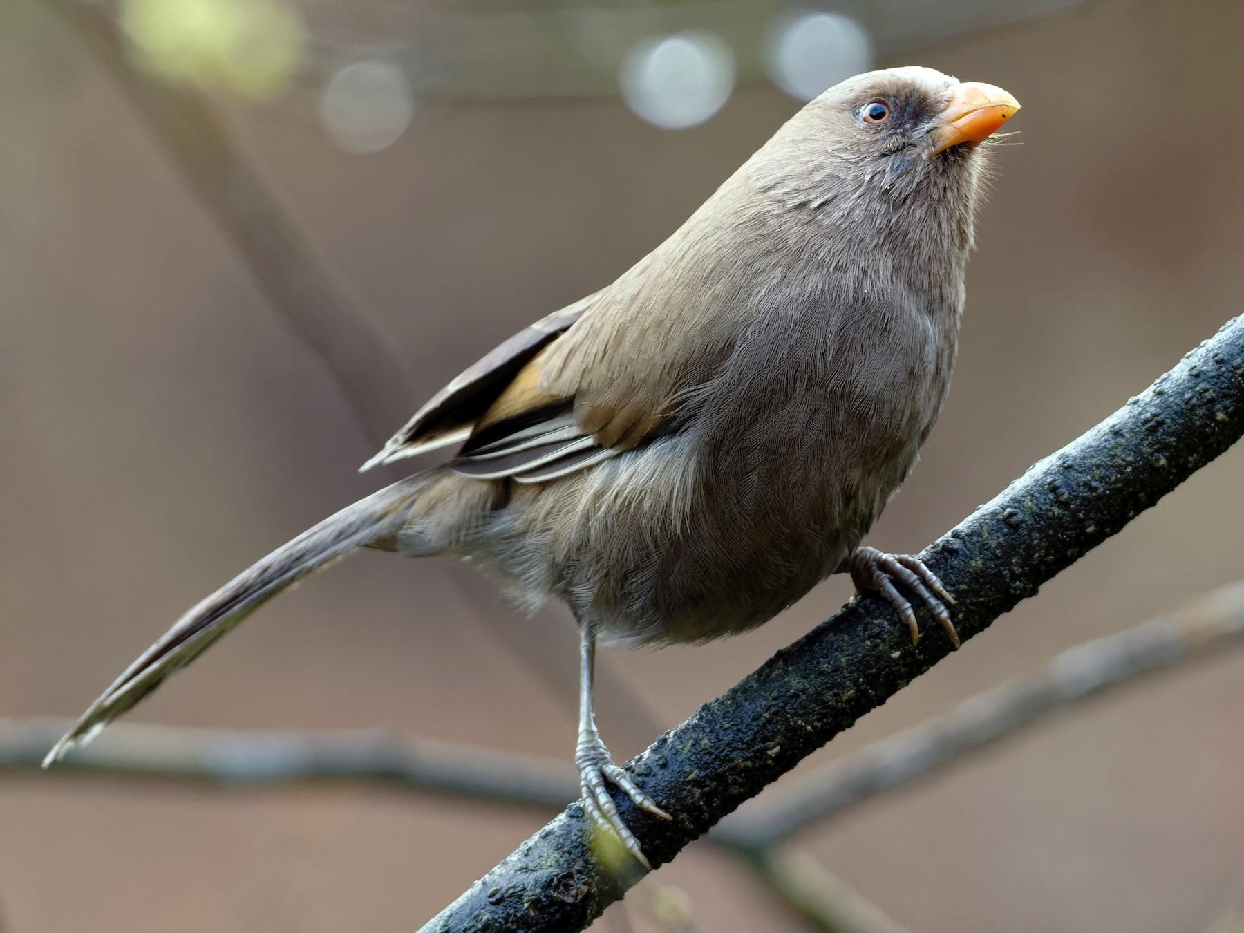Great Parrotbill - Vincent Wang