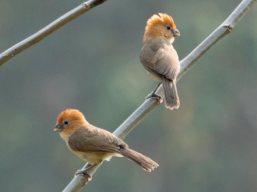 Rufous-headed Parrotbill - Sonja Ross