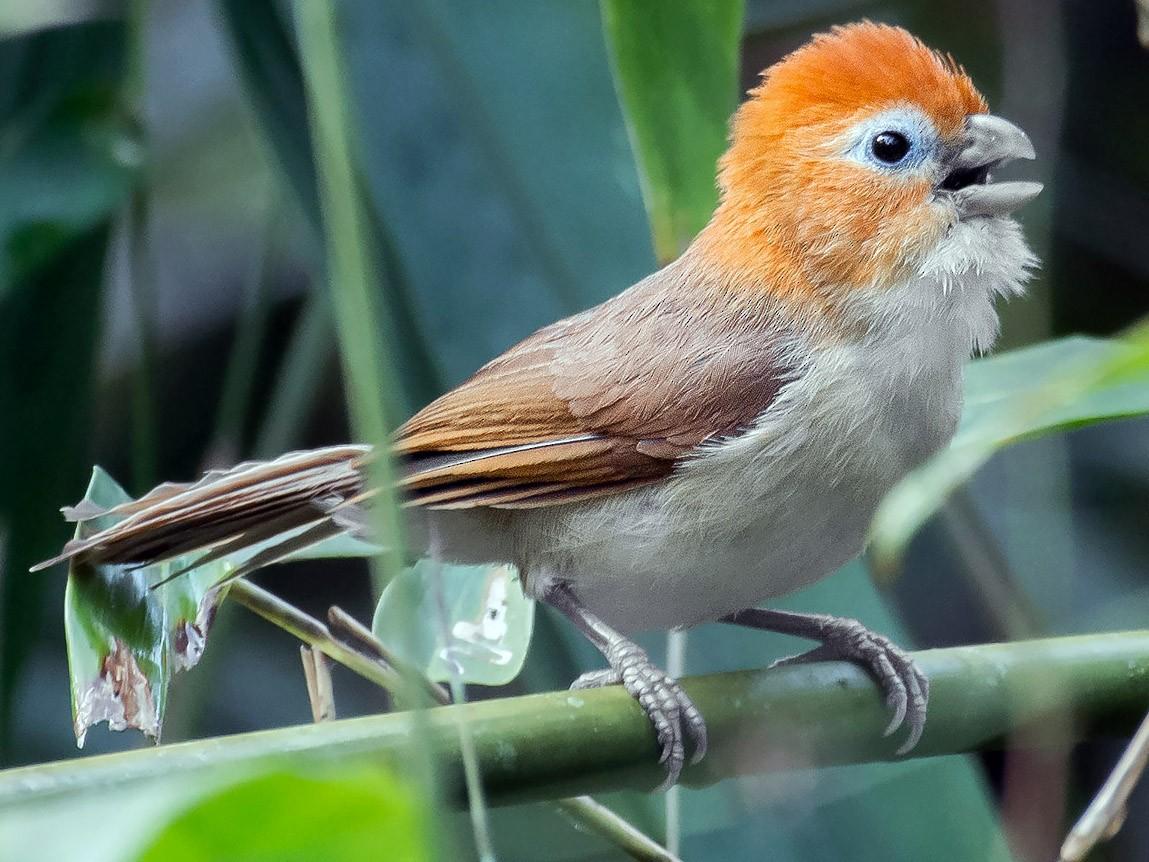 Rufous-headed Parrotbill - Natthaphat Chotjuckdikul