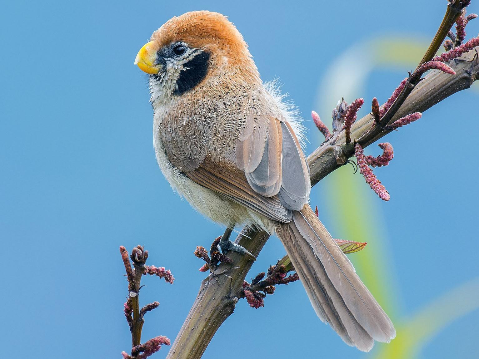 Spot-breasted Parrotbill - Natthaphat Chotjuckdikul