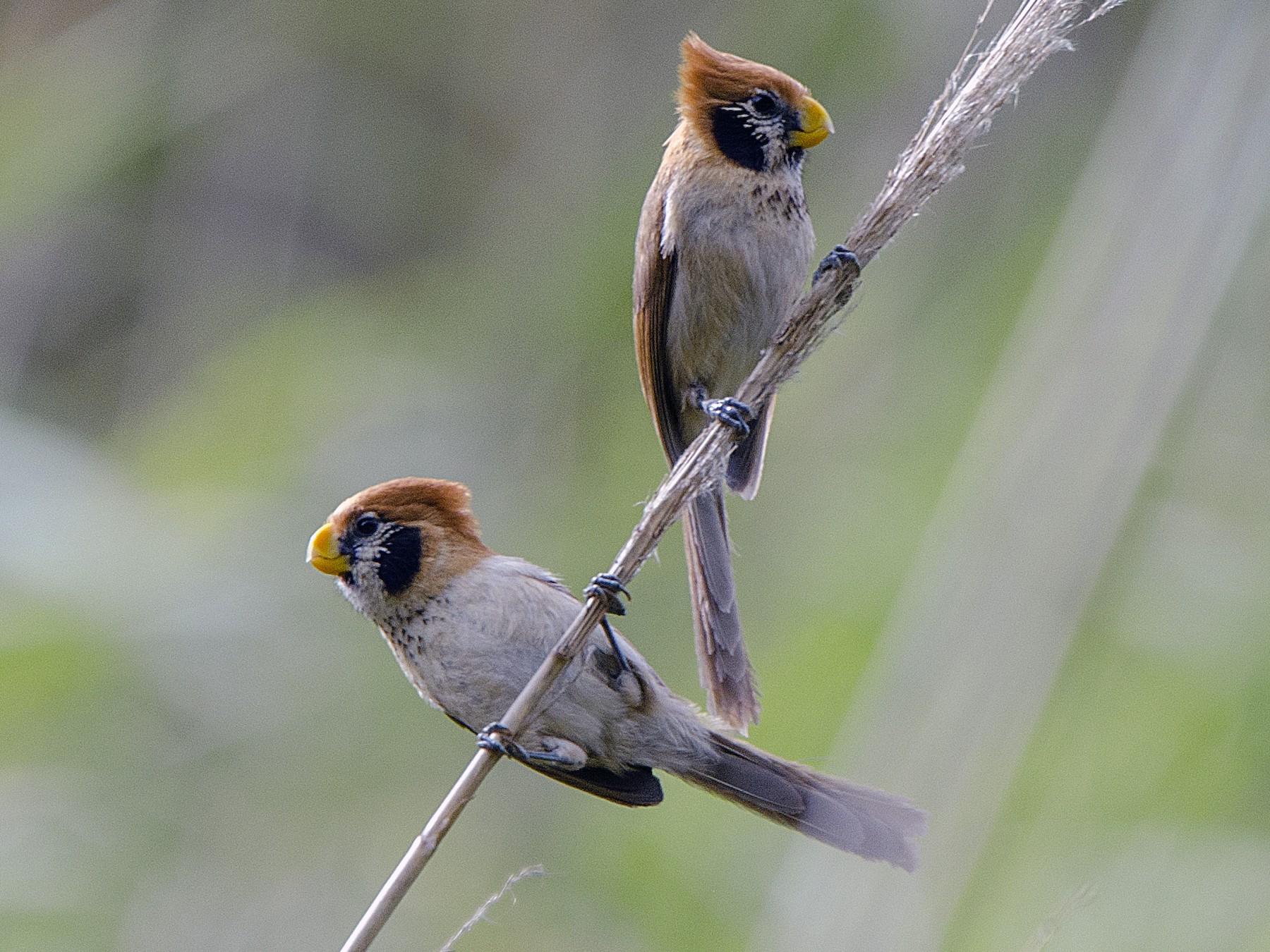 Spot-breasted Parrotbill - Saurabh Sawant