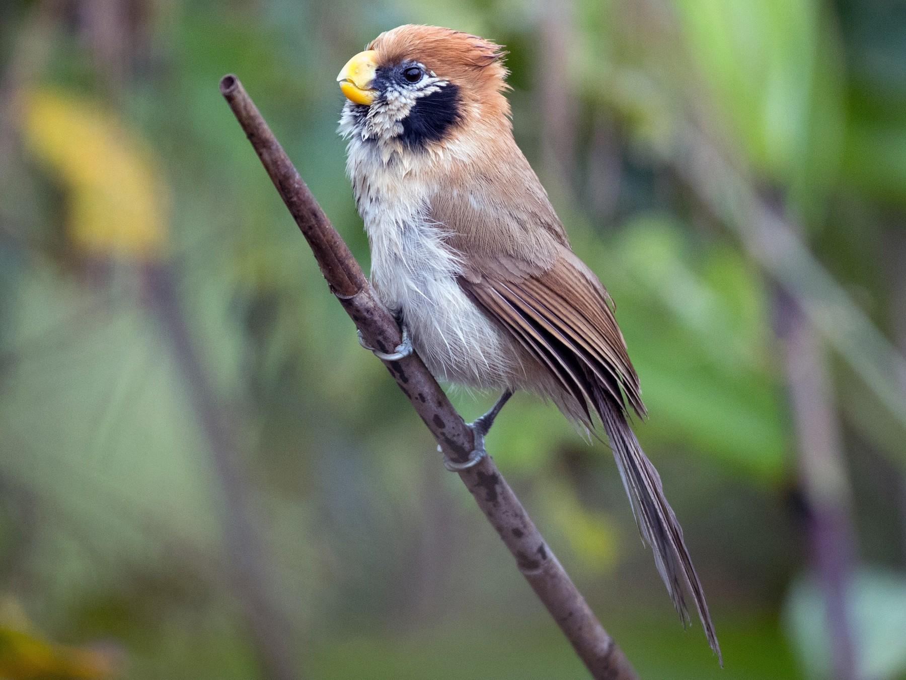 Spot-breasted Parrotbill - Ian Davies