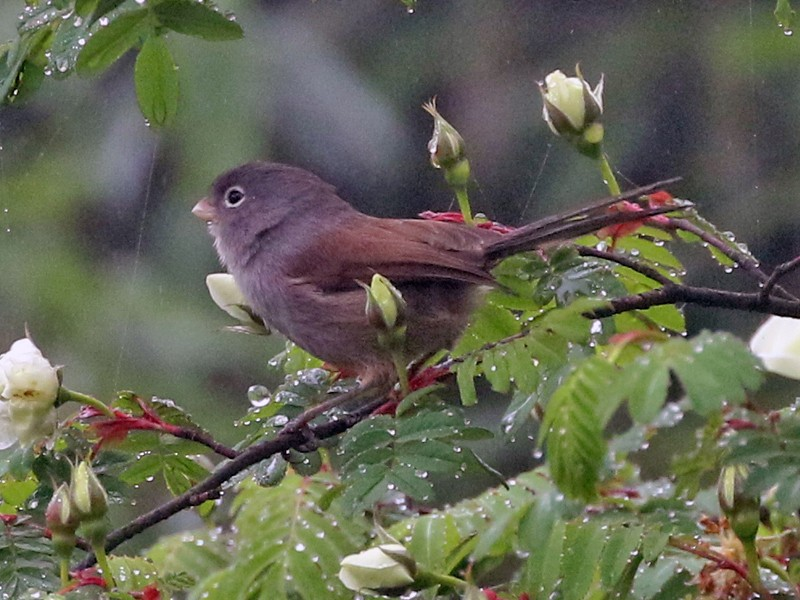 Gray-hooded Parrotbill - Charley Hesse TROPICAL BIRDING