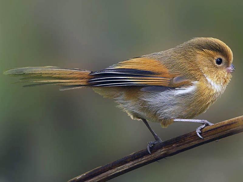 Fulvous Parrotbill - Biswapriya Rahut