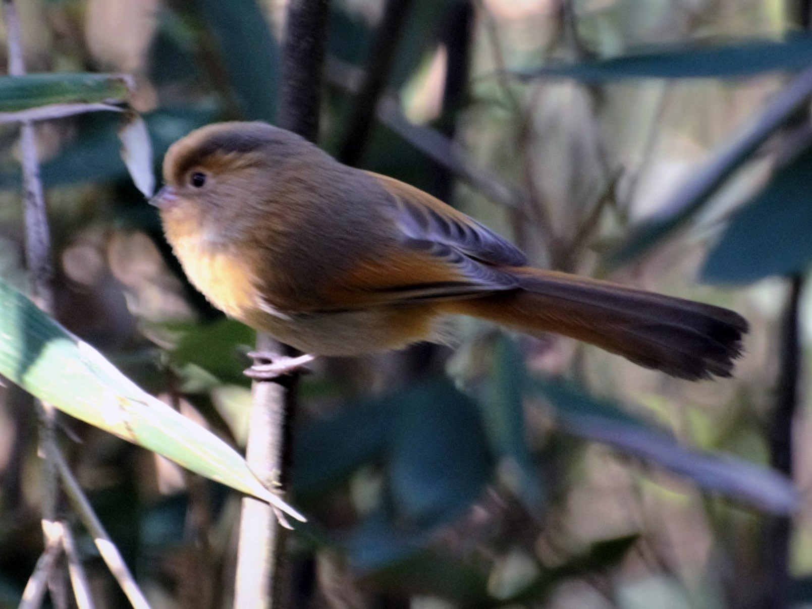 Fulvous Parrotbill - Hathan Chaudhary