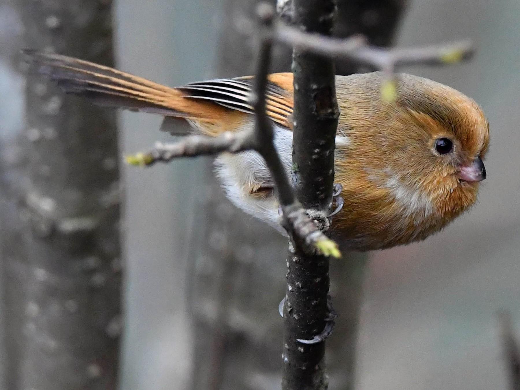 Fulvous Parrotbill - Sriram Reddy