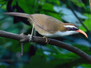 - Red-billed Scimitar-Babbler