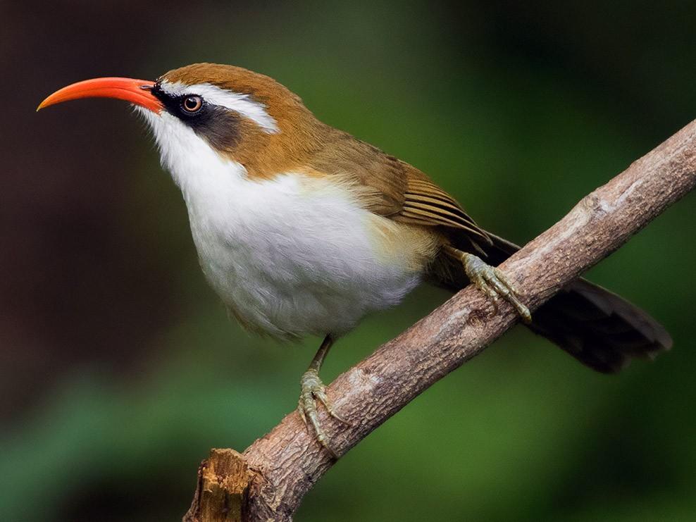 Red-billed Scimitar-Babbler - Ayuwat Jearwattanakanok
