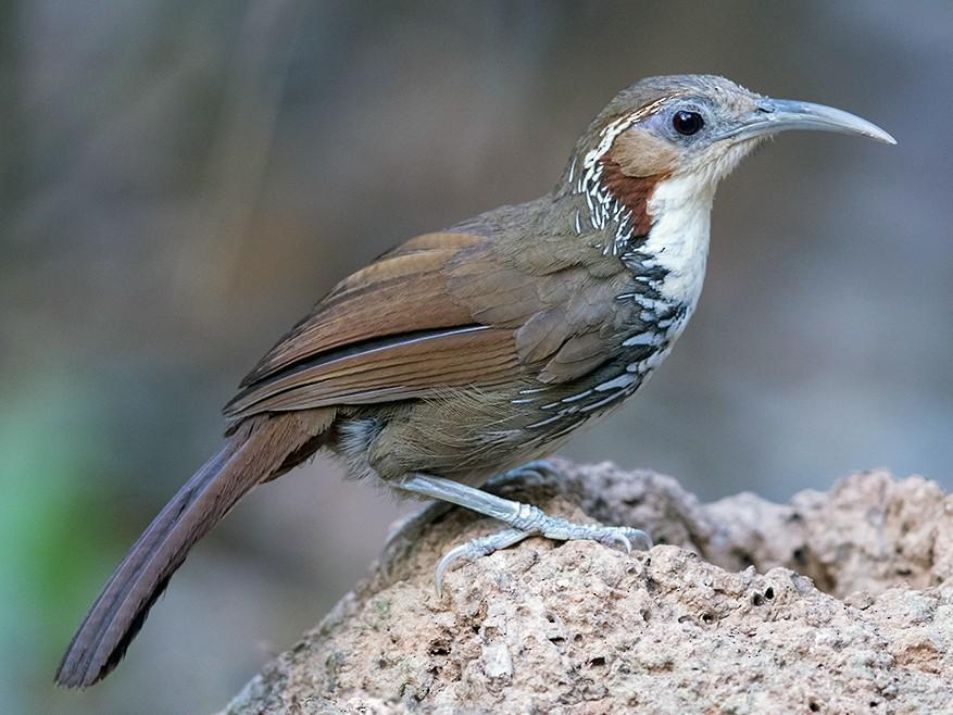 Large Scimitar-Babbler - Laurie Ross   Tracks Birding & Photography Tours