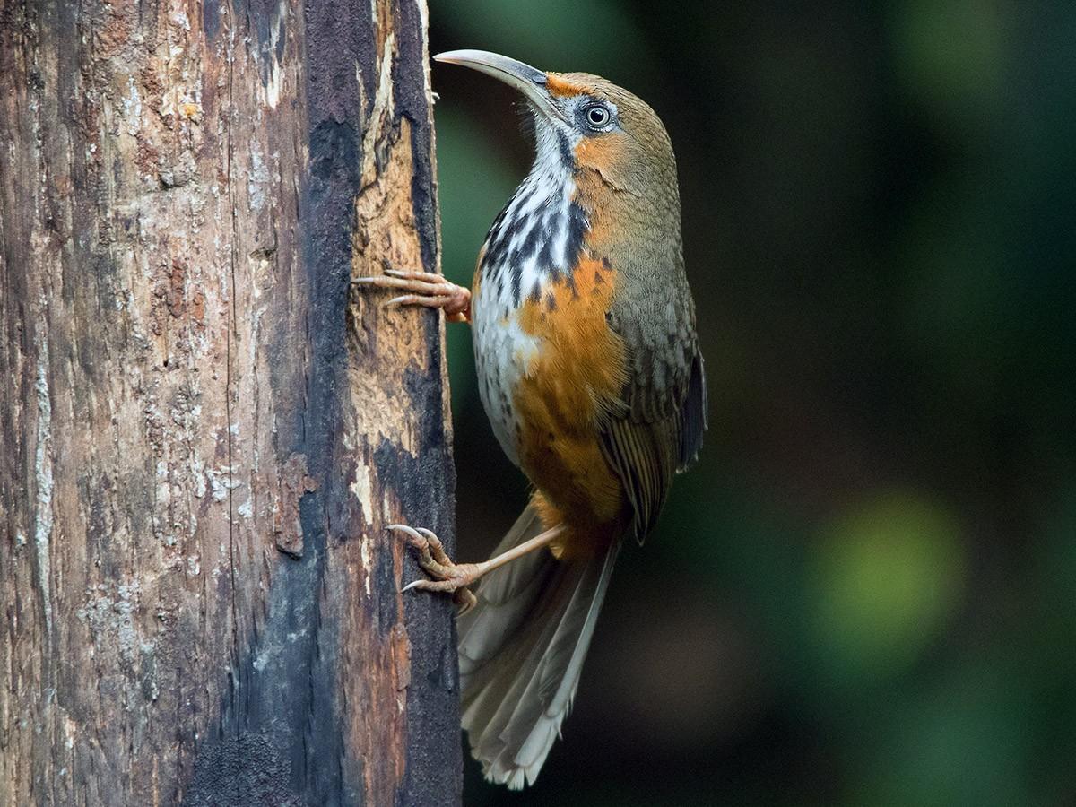 Black-streaked Scimitar-Babbler - Ayuwat Jearwattanakanok