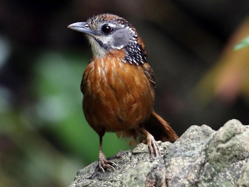 Spot-necked Babbler - Edmond Sham