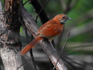 - Hoary-throated Spinetail