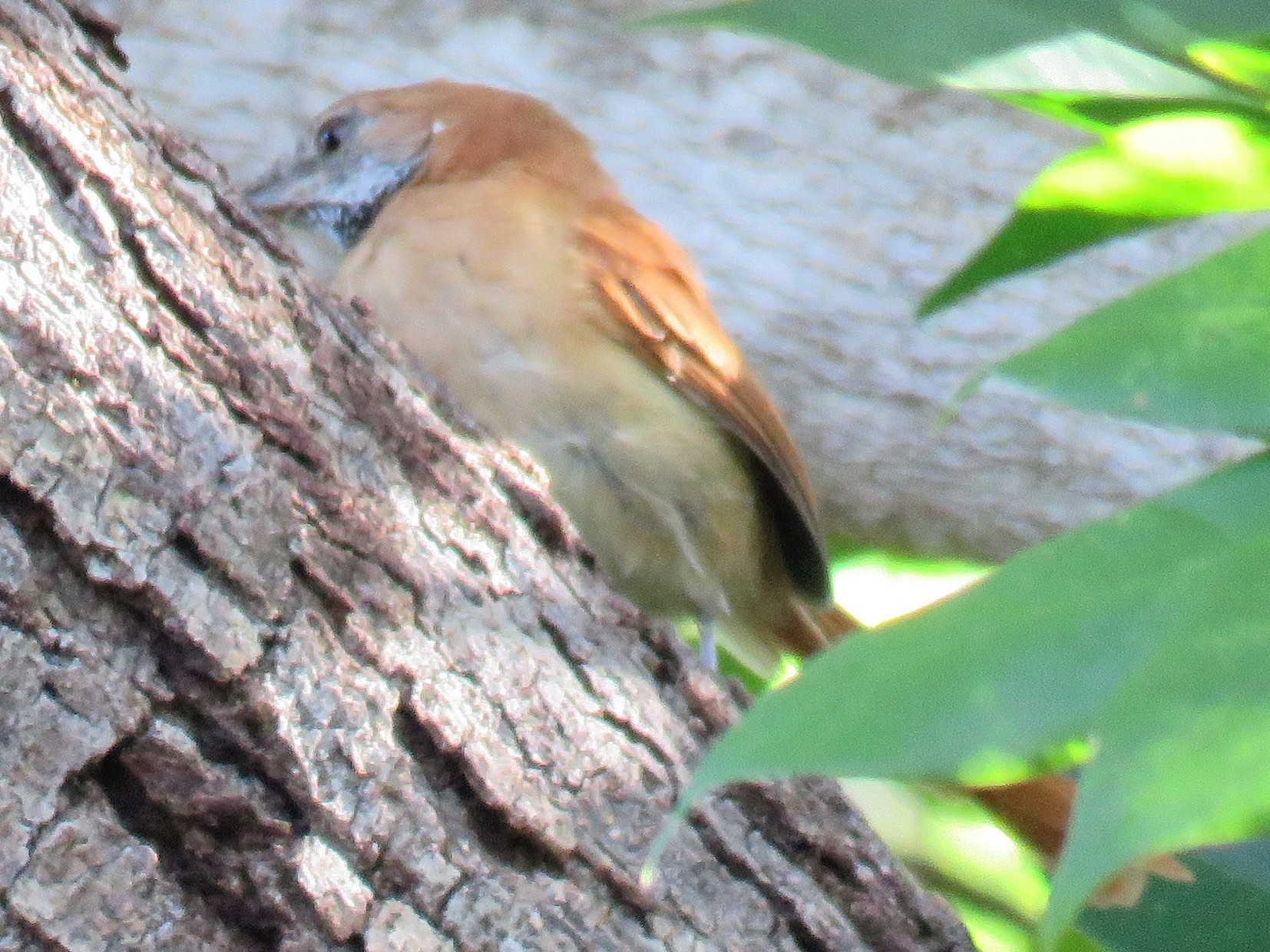 Hoary-throated Spinetail - Adam Kent