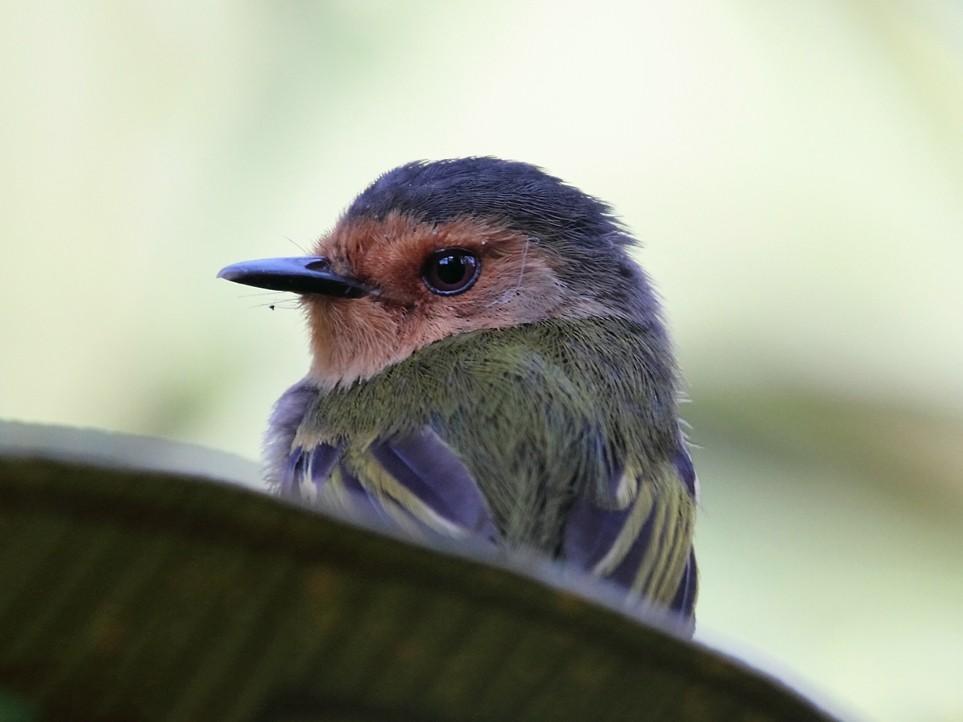 Ruddy Tody-Flycatcher - Lorenzo Calcaño