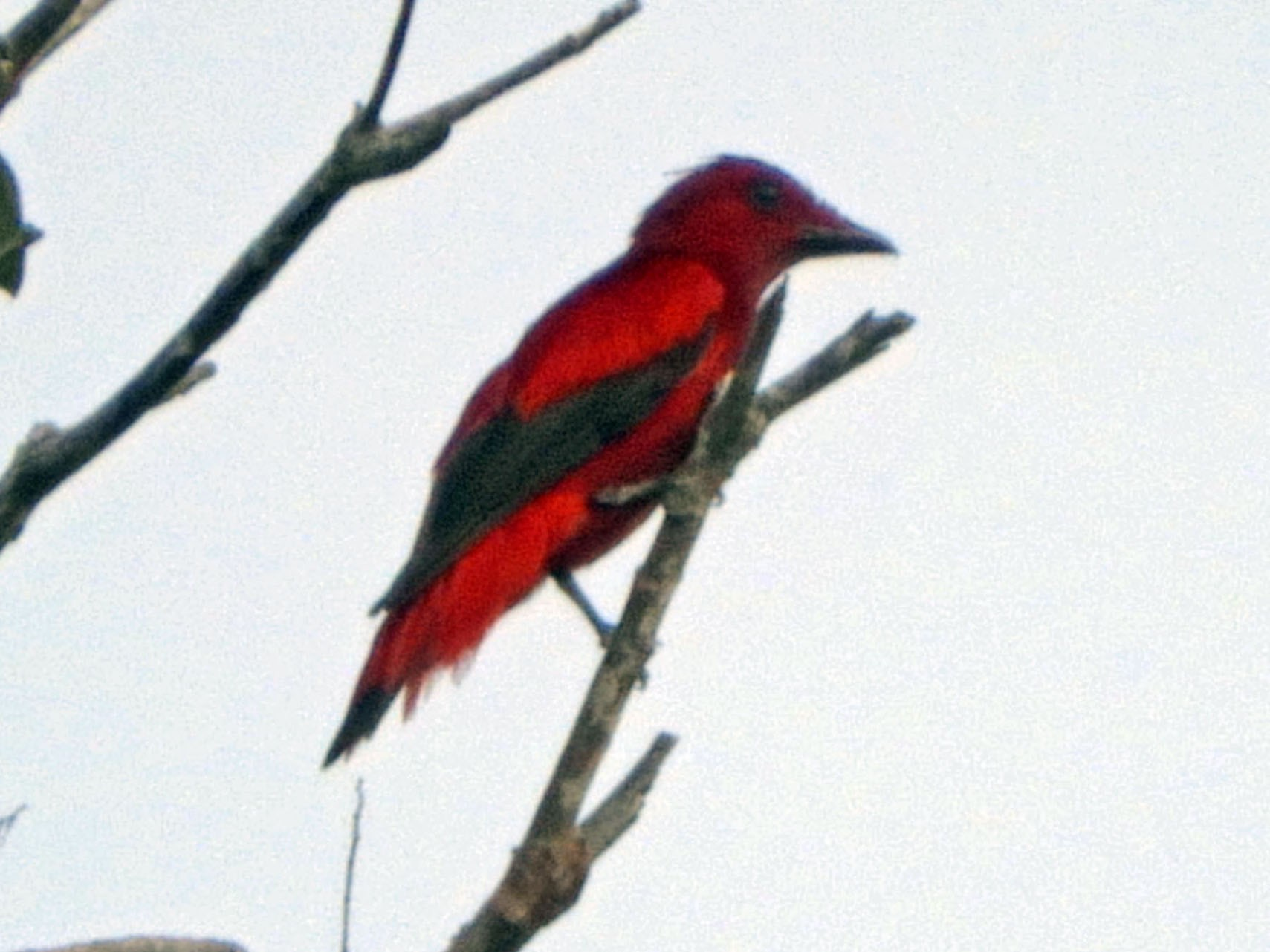 Crimson Fruitcrow - Garth V. Riley