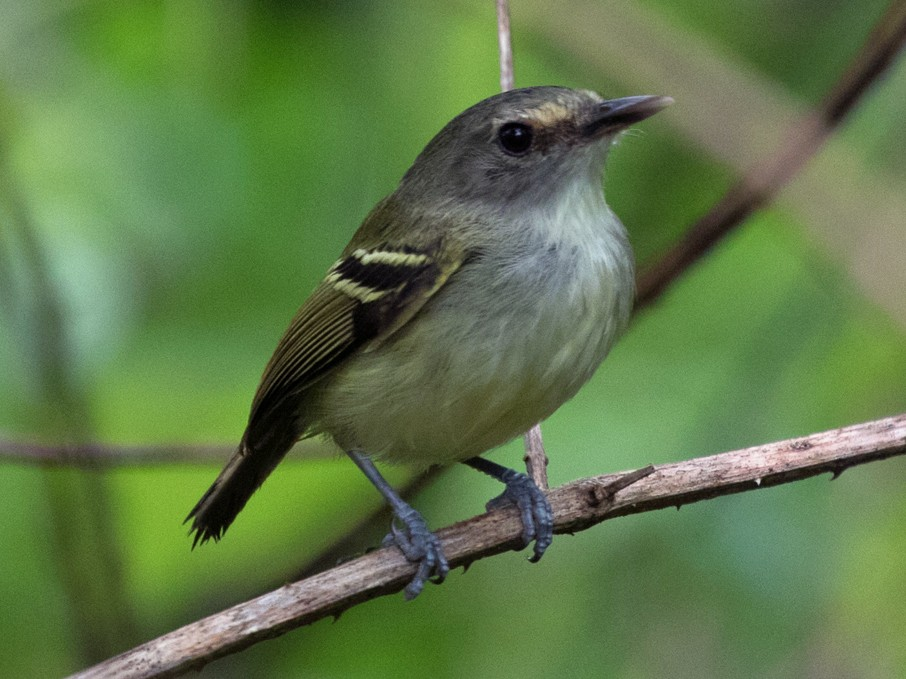 Smoky-fronted Tody-Flycatcher - Silvia Faustino Linhares
