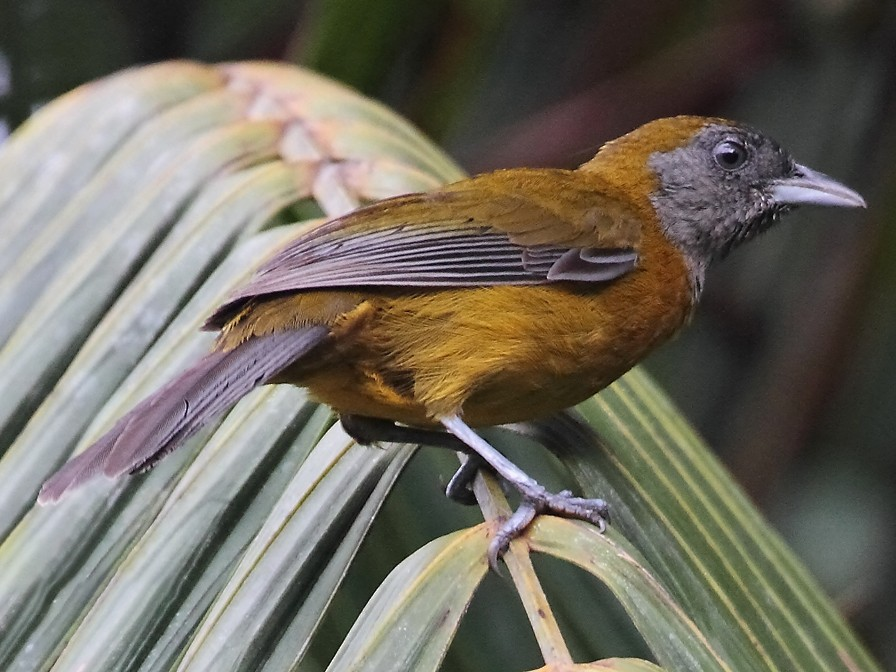 Olive-backed Tanager - Lorenzo Calcaño