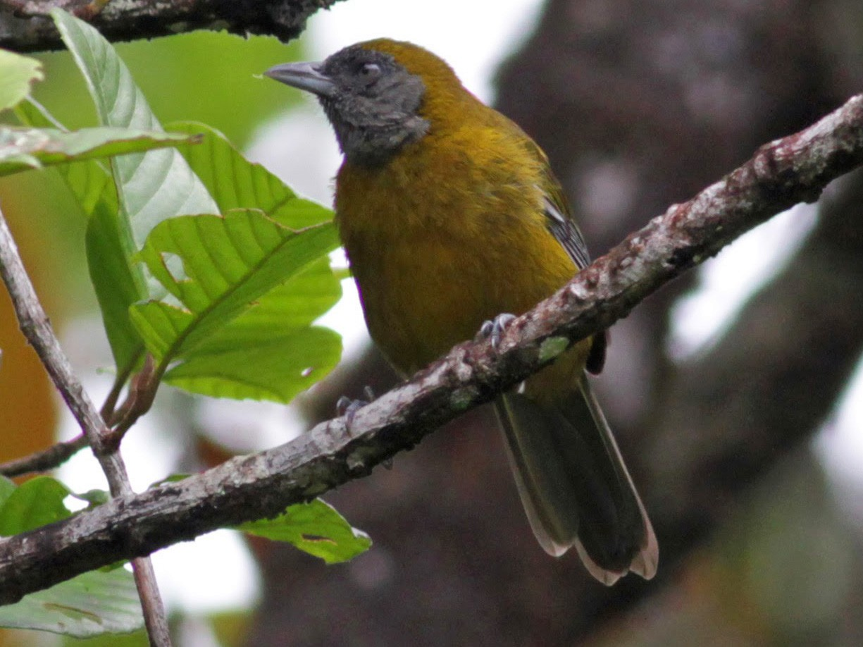 Olive-backed Tanager - Jay McGowan