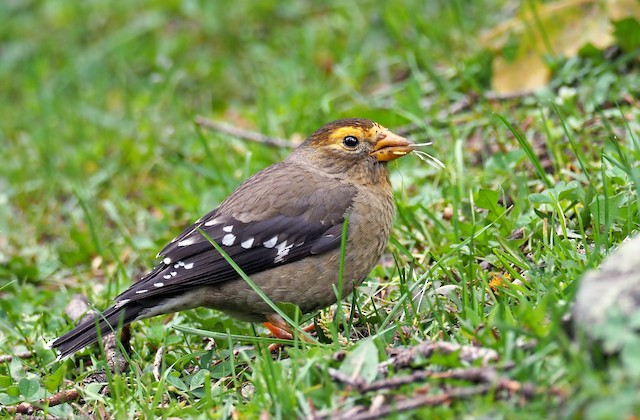 Spectacled Finch