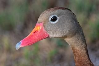 Black-bellied Whistling-Duck, ML180268881