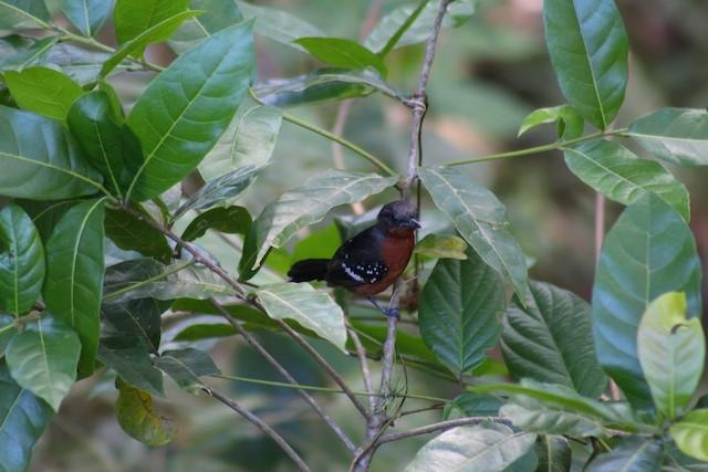 Dot-winged Antwren