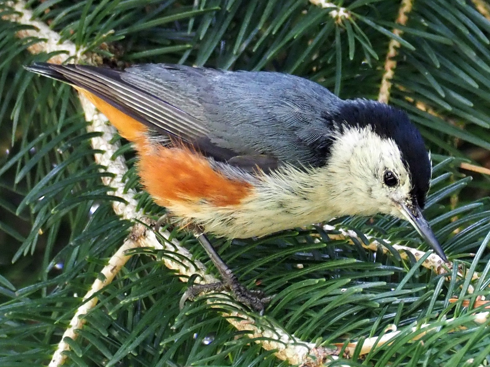 White-cheeked Nuthatch - Andrew Spencer