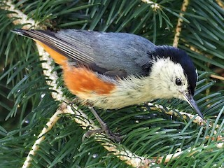 - White-cheeked Nuthatch