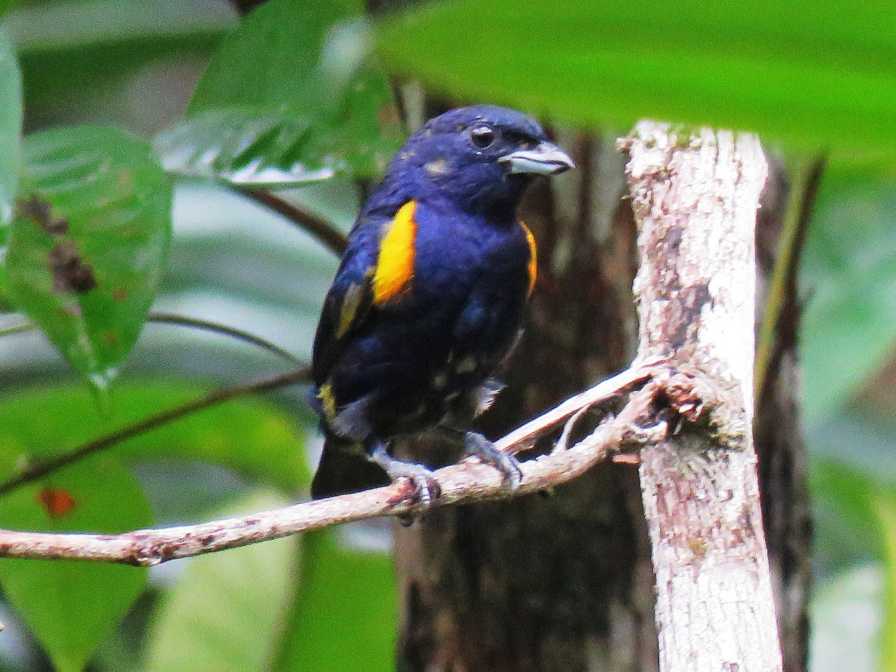 Golden-sided Euphonia - Thibaut RIVIERE