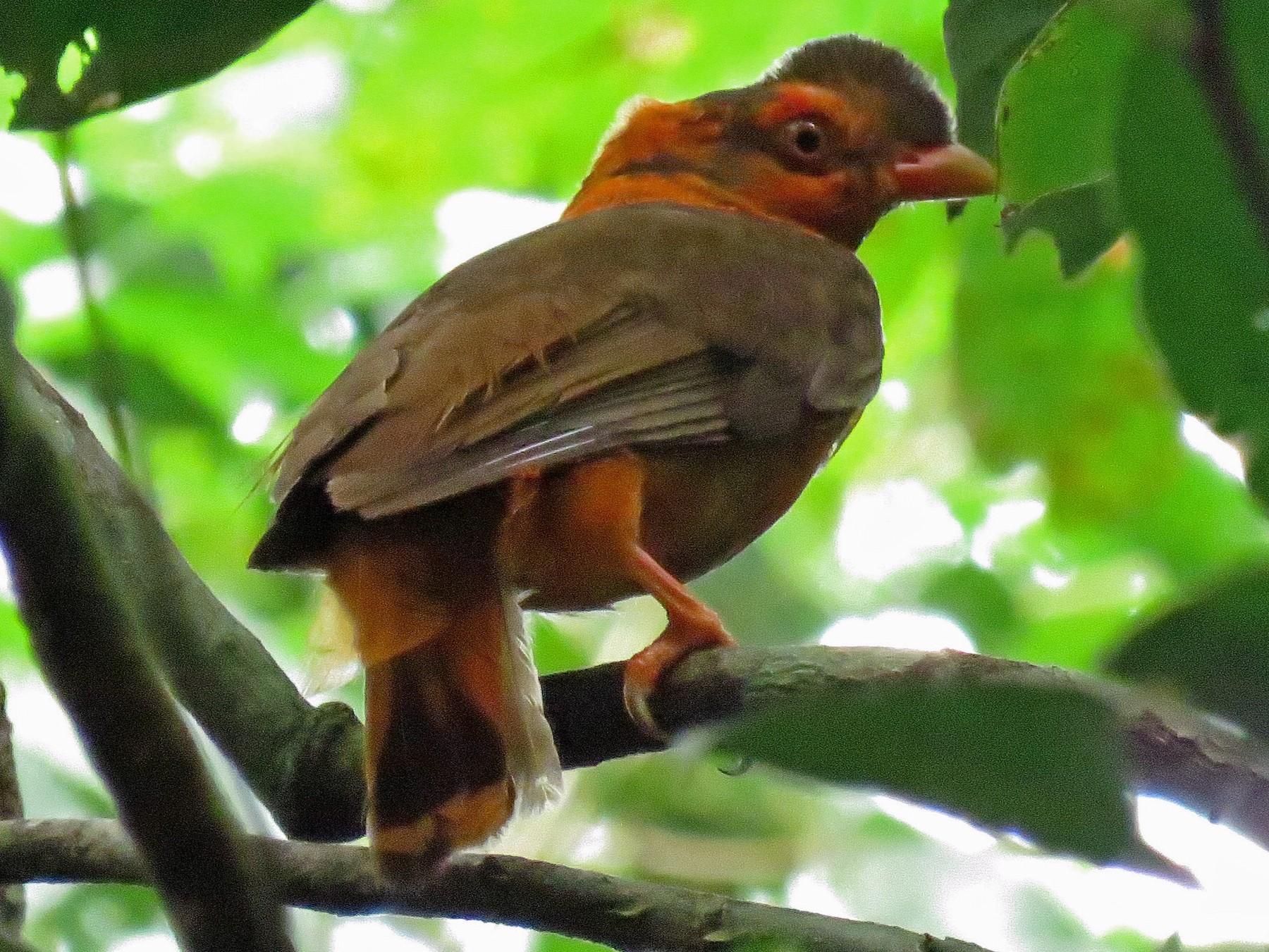 Guianan Cock-of-the-rock - Iván Lau