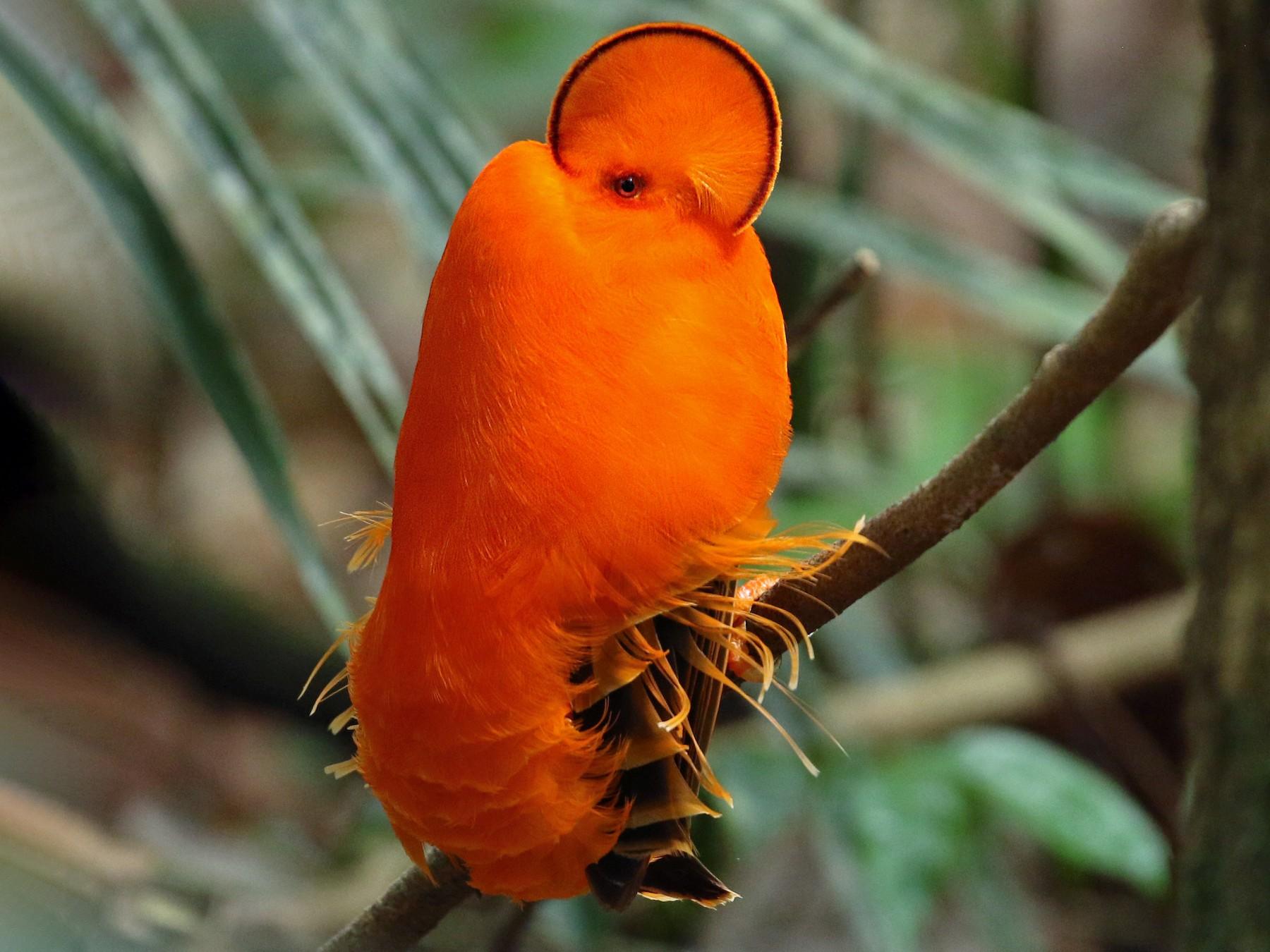 Guianan Cock-of-the-rock - eBird