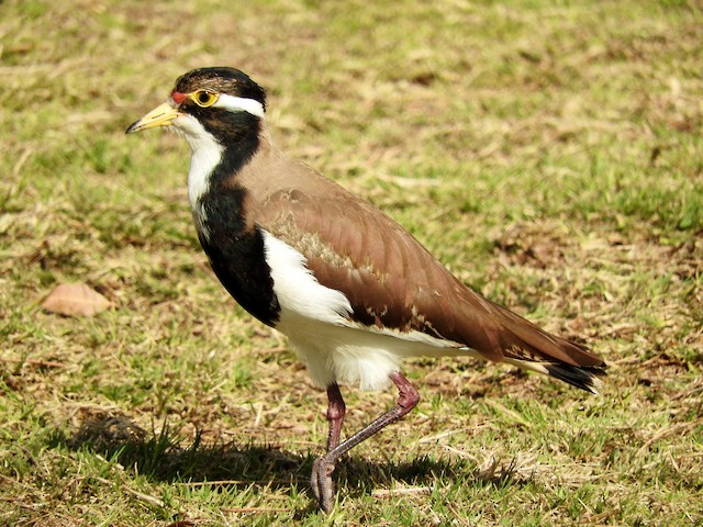 Banded Lapwing