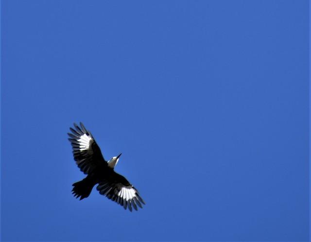 White-headed Woodpecker in flight.