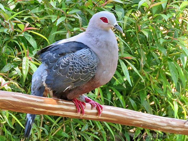 Pinon's Imperial-Pigeon