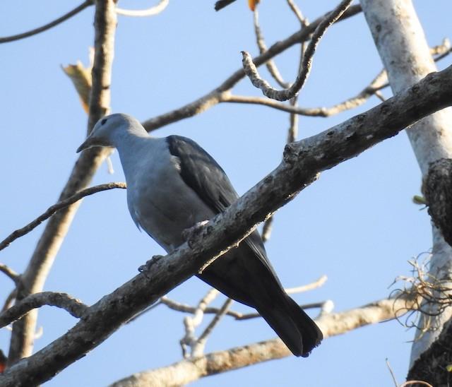 Nicobar Imperial-Pigeon