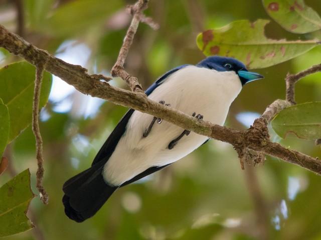 Adult male Blue Vanga.