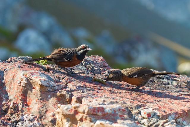 Adult male feeding a fledgling.