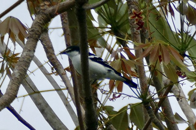 White-browed Triller