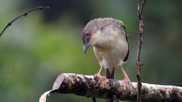 Jungle Prinia (presumably subspecies <em>valida</em>).