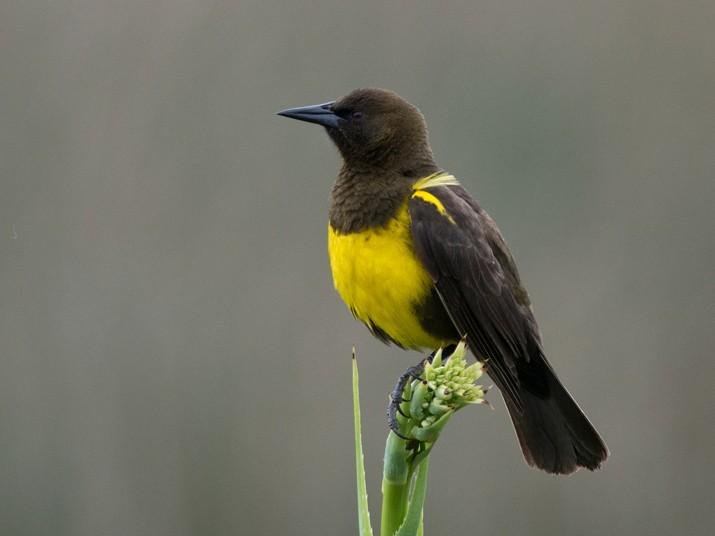Brown-and-yellow Marshbird - Evaldo Cesari de de Oliveira Jr