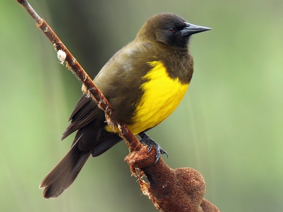 Brown-and-yellow Marshbird - Martjan Lammertink