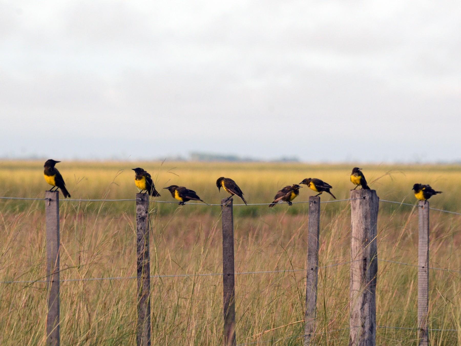 Brown-and-yellow Marshbird - David M. Bell