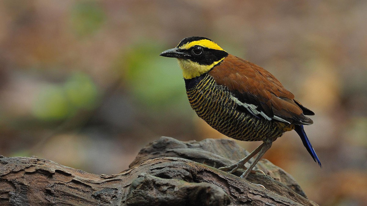 Javan Banded Pitta, James Eaton