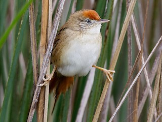 - Bay-capped Wren-Spinetail