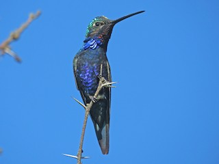 - Blue-tufted Starthroat