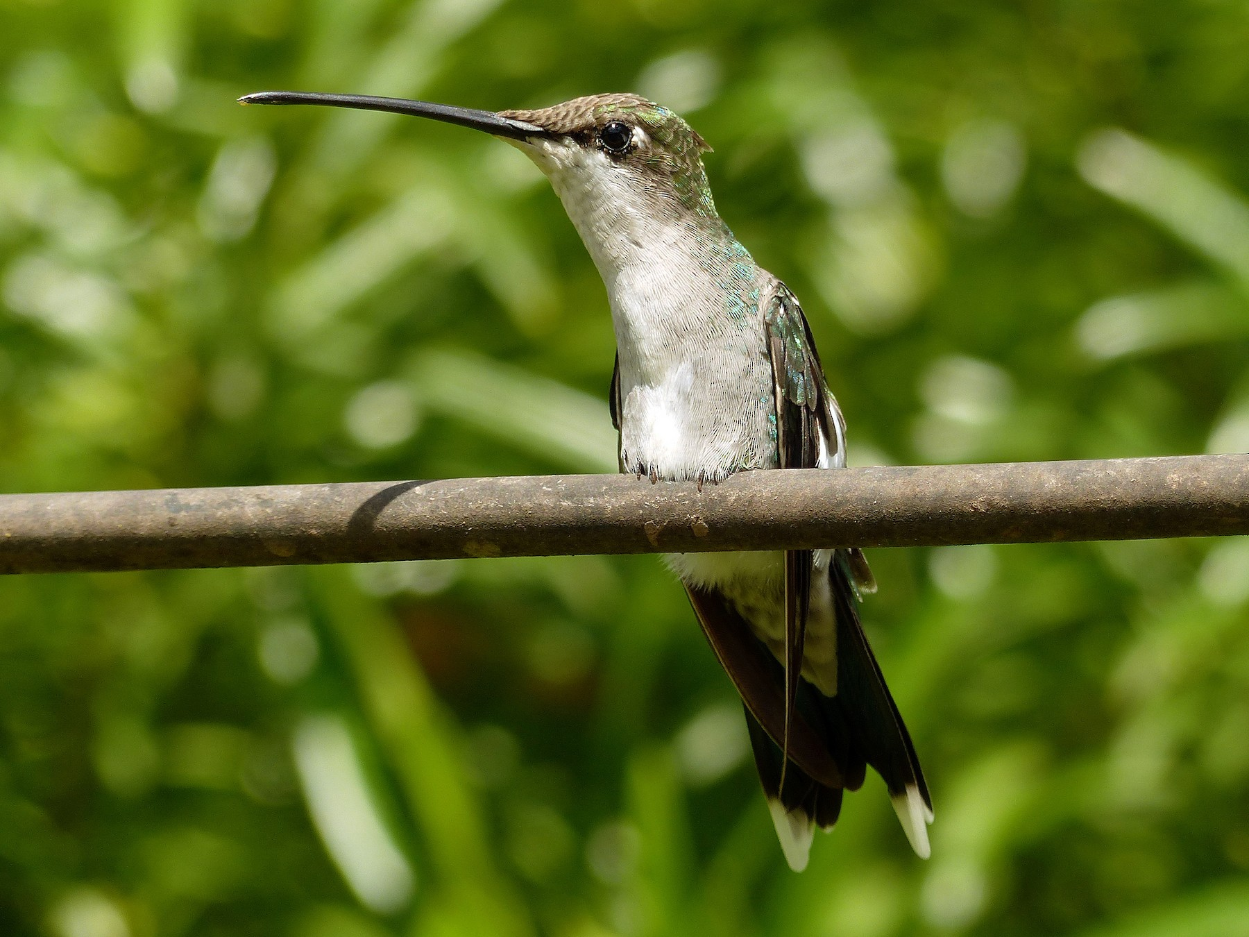 Blue-tufted Starthroat - Julien Birard