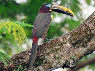 - Chestnut-eared Aracari