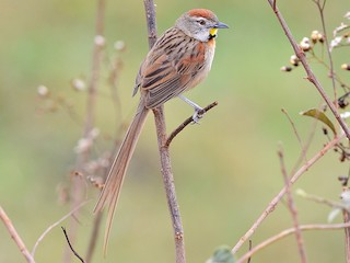 - Chotoy Spinetail
