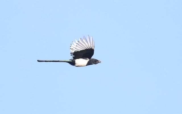 Eurasian Magpie (Eurasian)