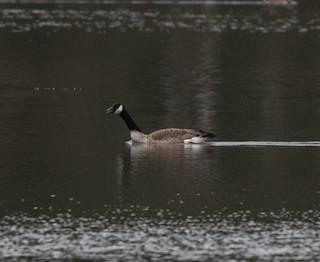 Canada Goose, ML180951631